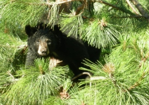 Black Bear Cub Wanting to Join the Barbeque